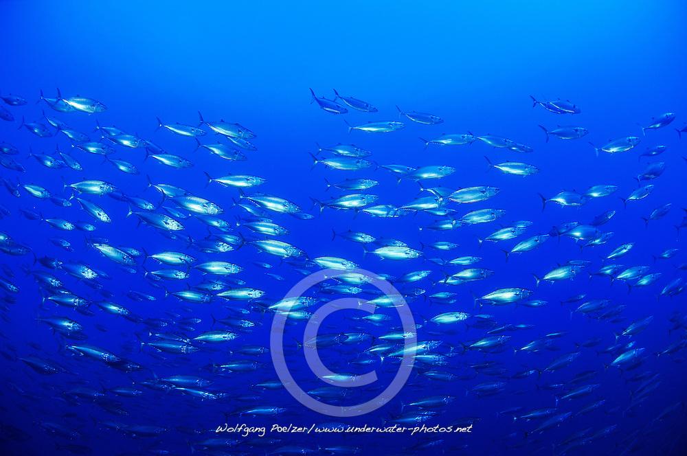 Echter Bonito, Schwarm von Thunfischen, Skipjack tuna, school of tunas, Azoren, Portugal, Atlantik, Atlantischer Ozean, Azores, Portugal, Atlantic Ocean