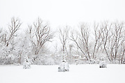 A row of trees in Palo Park after a snow storm in Boulder, Colorado.