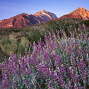 Lupine and Mount Williamson at Sunrise, Inyo National Forest, California
