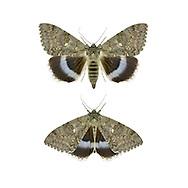 Clifden Nonpareil - Catocala fraxini<br /> 72.076 (2451)
