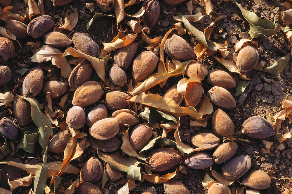 Almonds lay on the ground after being shaken from the tree by the machine harvester.  They will then be swept up into boxes and loaded on a flatbed trailer and delivered to the production facility for drying and packaging. Kern County, California. USA.