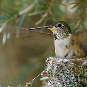 Nesting female broad-tailed hummingbird (Selasphorus platycercus); San Juan Mountains, Colorado; © 2013 Michael Ready