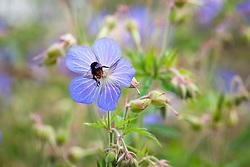Bee on Meadow Cranesbill. Geranium pratense