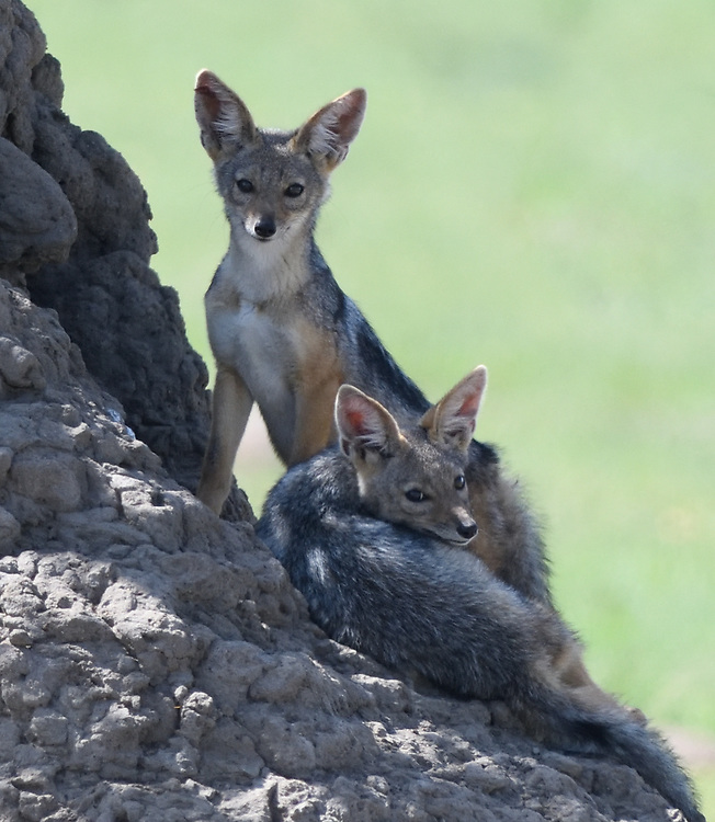 Black-backed jackal (Canis mesomelas) pups playing outside their den in a termite mound. Serengeti National Park, Tanzania.