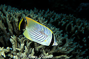 chevron or chevroned butterflyfish, Chaetodon trifascialis, Great Barrier Reef, Australia ( Western Pacific Ocean )