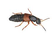 staphylinid beetle<br /> Staphylinus caesareus