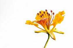 Royal Poinciana -yellow#34