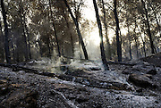 smoke and smouldering ashes after a pine tree Forest fire was put out