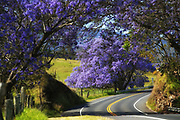 Jacaranda trees line the roadway in upcountry Maui, intensifying the picturesque pastoral landscape with its lavender blossoms.<br /> <br /> Jacaranda mimosifolia, native to South America, has become an island favorite with its spectacular springtime blooms.