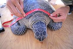 Measuring Black Sea Turtle