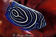 juvenile emperor angelfish, Pomacanthus imperator, cleans tomato grouper or tomato cod, Cephalopholis sonnerati, Bali, Indonesia