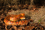 Corn Snake (Elaphe guttata) CAPTIVE<br /> The Orianne Indigo Snake Preserve<br /> Telfair County. Georgia<br /> USA<br /> Habitat & Range: Sandhills, Pine-hardwood forests, Maritime forestsS & suburban settings of Southeastern & Central USA