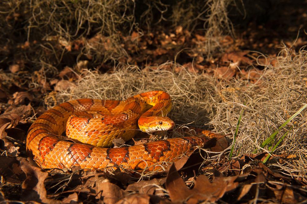 Corn Snake (Elaphe guttata) CAPTIVE<br /> The Orianne Indigo Snake Preserve<br /> Telfair County. Georgia<br /> USA<br /> Habitat & Range: Sandhills, Pine-hardwood forests, Maritime forestsS & suburban settings of Southeastern & Central USA