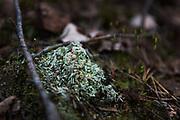 Crustose lichen Icmadophila ericetorum (with common name fairy barf) growing on wooden debris in peat rich soil, Vidzeme, Latvia Ⓒ Davis Ulands | davisulands.com