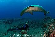 Hawaiian monk seal, Monachus schauinslandi, endemic species, critically endangered, and scuba diver, Lehua Rock ( near Niihau ), Hawaii, USA ( Central Pacific Ocean ) MR 306