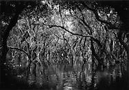 Flooded forest near Kompong Phhluk where trees rise from 5 meter deep (roughly 16 ft) waters of the Tonle Sap, Cambodia.
