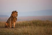 A portrait of a male African lion  (Panthera Leo) sitting on the Masai Mara in the light of dusk,Masai Mara, Kenya,Africa