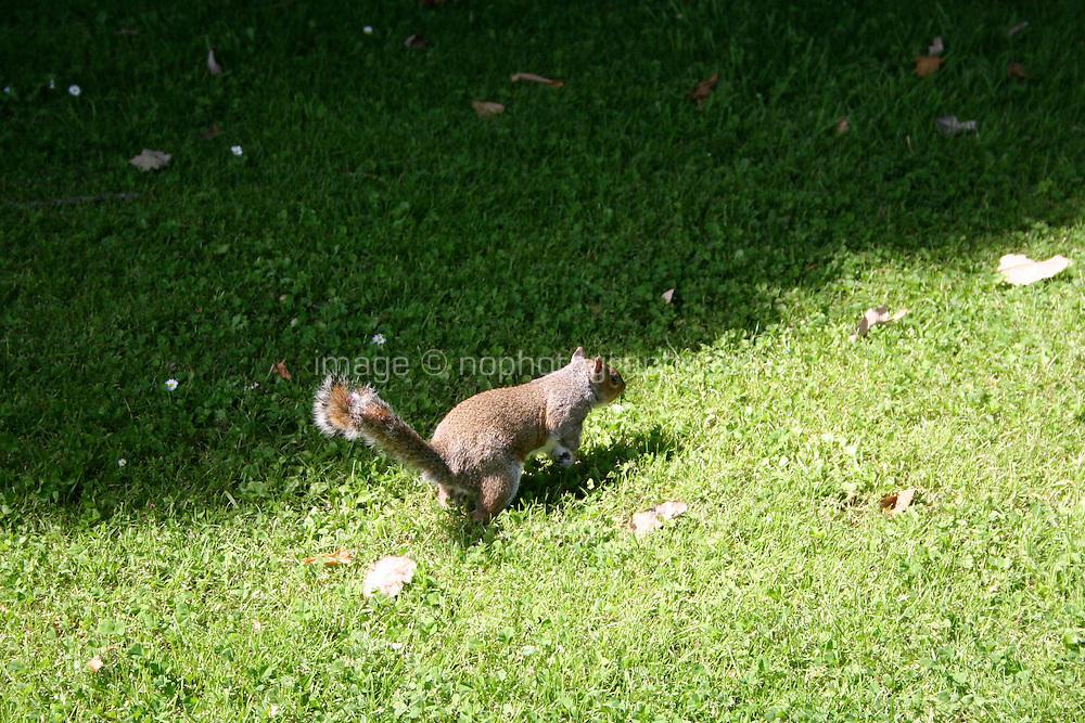 Wild squirrel in Dublin park in Ireland