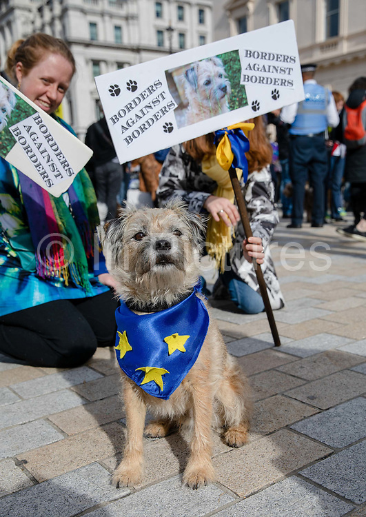 A dog wearing a European Union flag sits in front of a Borders Against Borders placard as pet owners take part in an anti Brexit Wooferendum rally on October 07, 2018 in London, England to protest against Britain leaving the European Union.