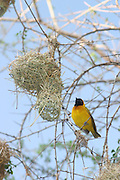 Africa, Tanzania, Lake Manyara National Park, Masked Weaver Ploceus intermedius standing by the entrance to it's nest