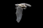 A female yuma myotis (Myotis yumanensis) in flight near Drake Creek in Lake County, Oregon. High-desert habitat.