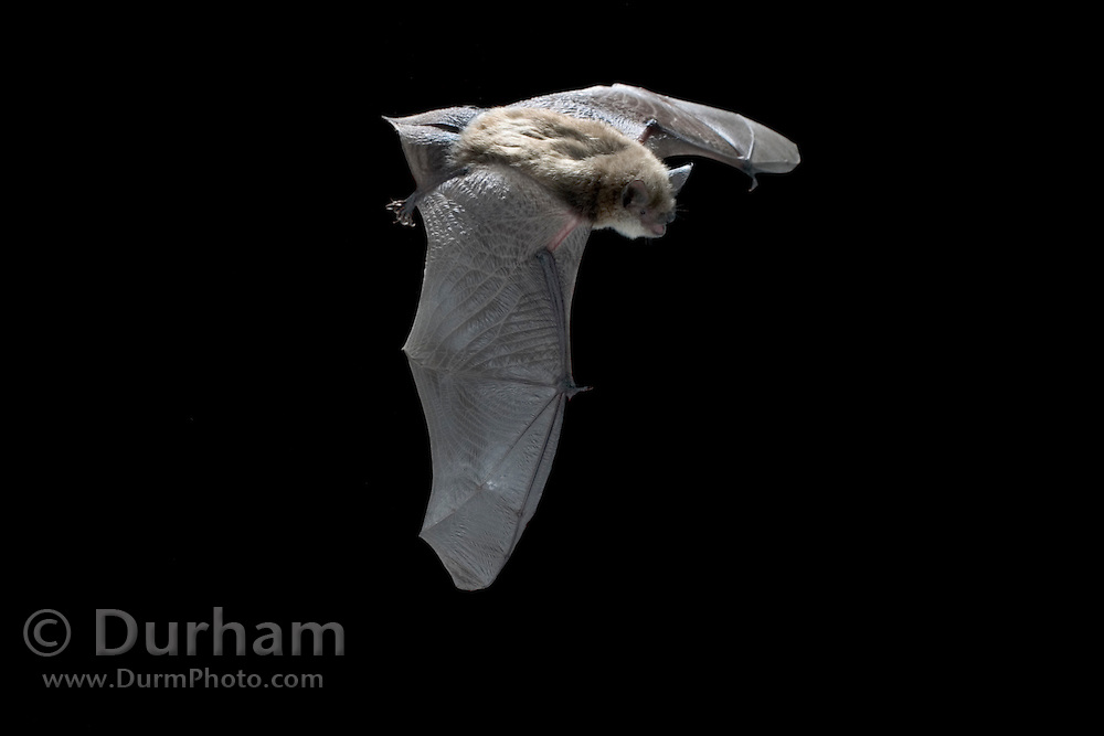 A female yuma myotis (Myotis yumanensis) in flight near Drake Creek in Lake County, Oregon. High-desert habitat.