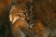 Eurasian Lynx (Lynx lynx) with kitten, captive, Langedrag,  Norway.