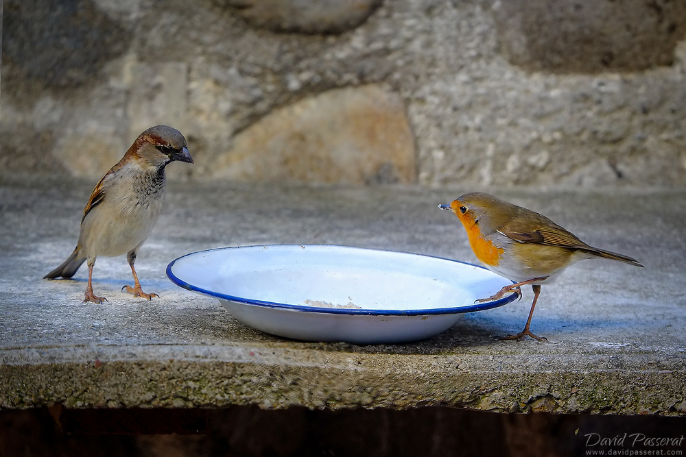 A robin and a sparrow looking over a plate of food