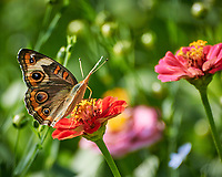 Common Buckeye butterfly feeding on a Zinnia flower. Image taken with a Nikon 1 V3 camera and 70-300 mm  VR lens