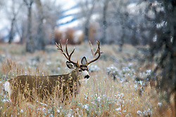 Trophy non-typical Buck Mule Deer, fall snow,  Grand Teton National Park, Jackson Hole, Wyoming<br /> <br /> The story of this huge buck<br /> A trophy buck ~ through the years.<br /> http://daryl-hunter.net/a-trophy-buck-through-the-years