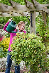 Feeding tomatoes in a hanging basket using liquid feed mixed in a watering can