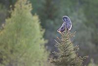 Great grey owl (Strix nebulosa) perched on top of spruce tree,       Bergslagen, Sweden.