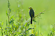 Yellow Wagtail, Motacilla flava, Elmley Marshes, Kent, UK, summer migrant, backlight, perched on grass reeds