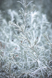 Calocephalus brownii 'Silver Cushion' syn. Leucophyta brownii - Cushion bush