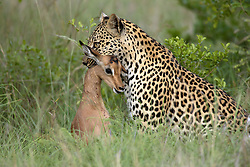 July 6, 2015 - Leopard, female with prey, Sabie Sand Game Reserve, South Africa  (Credit Image: © Tuns/DPA/ZUMA Wire)