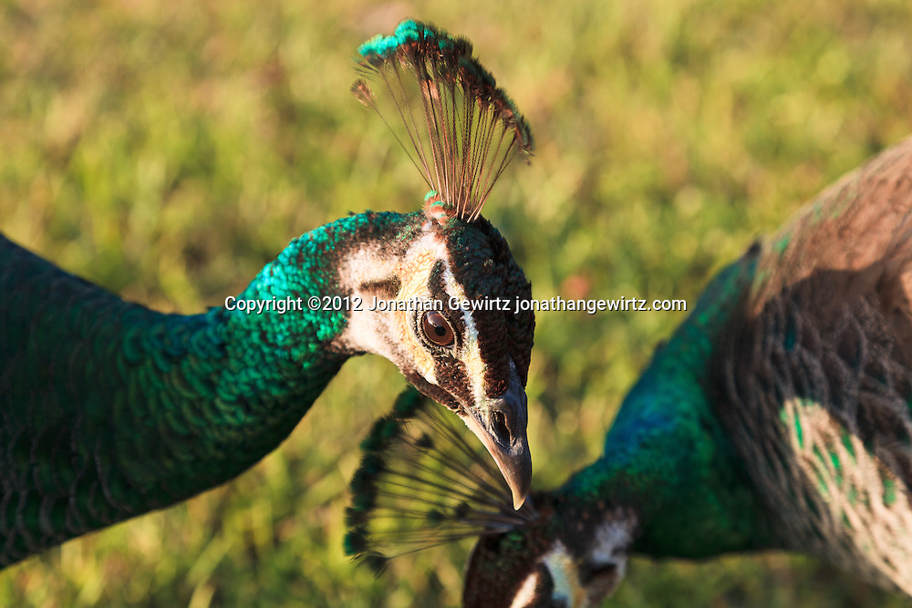 Two female Indian peafowl (Pavo cristatus), or peahens, at Crandon Park, site of an open-air avian zoo on Key Biscayne, Florida. WATERMARKS WILL NOT APPEAR ON PRINTS OR LICENSED IMAGES.
