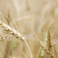 Heirloom red winter wheat. Prized for its high protien and quality product.