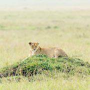 """Spotted a lioness resting on a termite mound in Kenya. Termite mounds offer the animals another vantage point.<br /> <br /> For all details about sizes, paper and pricing starting at $85, click """"Add to Cart"""" below."""