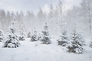 Sudden wind gusts announce the arrival of snowstorm over young forest stand of birch trees (Betula sp.) and spruces (Picea abies), Vidzeme, Latvia Ⓒ Davis Ulands | davisulands.com