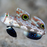 Profile of a crab-eye goby (Signigobius biocellatus), a small fish that swims in a stuttered back-and-forth motion. This unique pattern of motion is said to be reminiscent of the side-to-side movement pattern that is characteristic of crabs. with the large signature spots on the fish's dorsal fins resembling eyes.