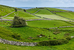 Hawthorn tree, stone fences and sheep near Cornamona, County Galway, Ireland