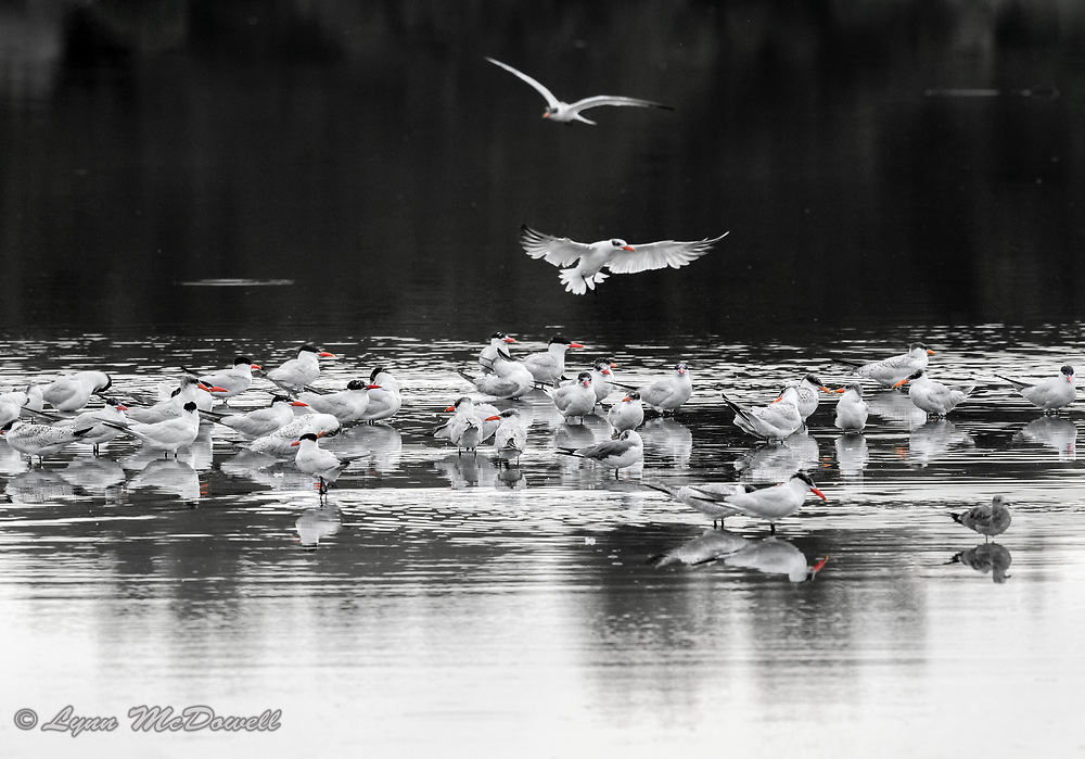 Caspian Tern flock coming together on the water for evening rest and preening