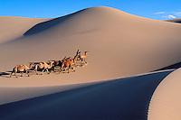 Mongolie, Province d'Ömnögov, Parc national du Gobi, Desert de Gobi, Dune de Khongoryn Els, Caravane de chameaux, Nomade // Mongolia, Omnogov province, National Park of Gobi, Gobi desert, Khongoryn Els dunes, Camel caravan, nomade