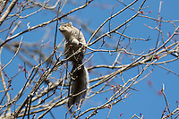 Delmarva  fox squirrel, Sciurus niger cinereus, Chincoteague National Wildlife Refuge, Virginia, USA