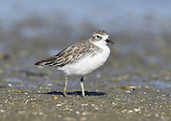Neew Zealand Dotterel - Charadrius obscurus<br /> juvenile