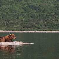 A brown bear rests and protects a whale carcass floating at high tide in Kiniak Bay, Katmai Natioanl Park