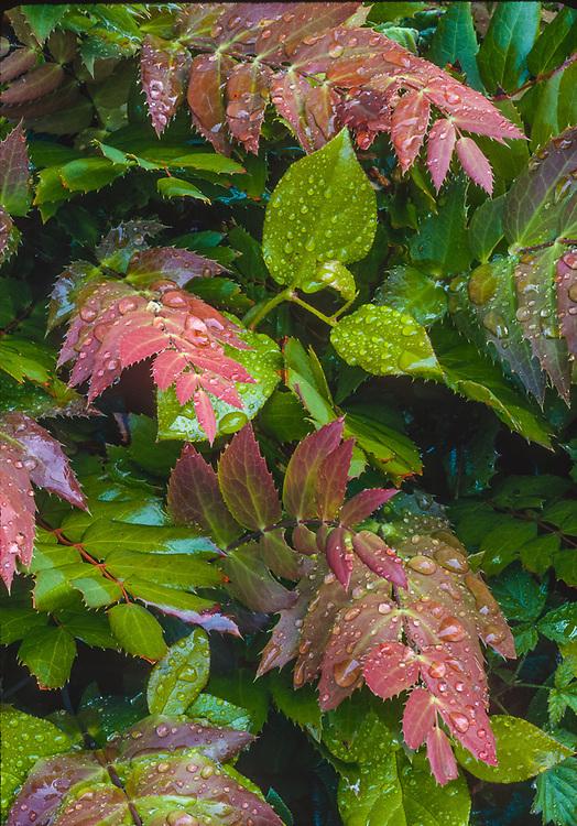 Oregon grape leaves, Olympic National Park, Washington, USA