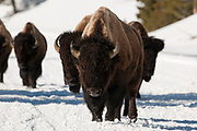 American bison bulls walking in snow in Yellowstone National Park