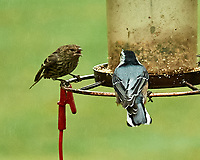 Pine Siskin and White-bellied Nuthatch. Image taken with a Nikon D5 camera and 200-500 mm f/5.6 VR lens