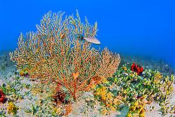deepwater sea fan, Iciligorgia schrammi, off Tampa, Florida, USA, Gulf of Mexico, Caribbean Sea, Atlantic Ocean